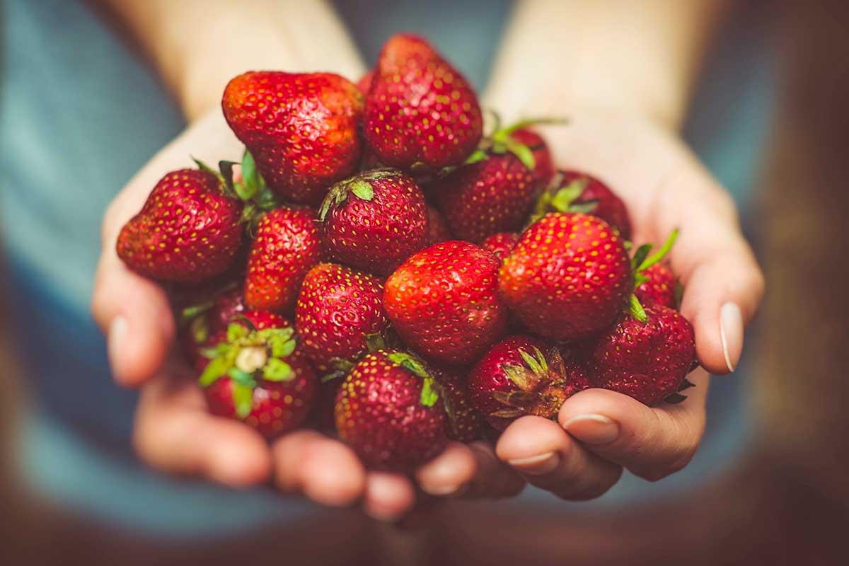 Selbst gepflückte Erdbeeren frisch vom Erdbeerfeld